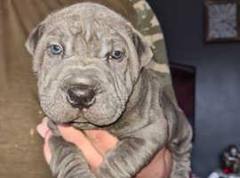 3/4 shar pei  puppy