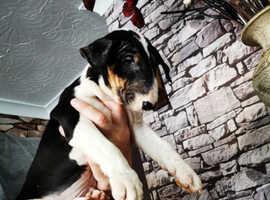 Kc reg English bull terrier puppy