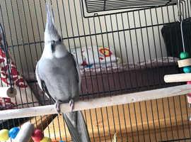 Cockatiel breeding pair
