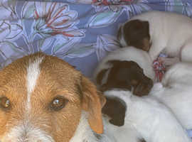 Parson Russell puppies 2 girls left now