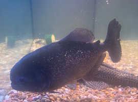 Piraa fish. Free to good home.