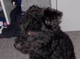 Black Patterdale Terriers, 2 girls left