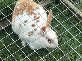 Female rabbits for sale