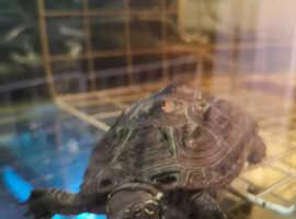 Breeding pair of Reeves turtles roughly 4 years old