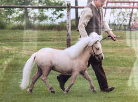 "Shetland miniature Palomino (under 34"")"