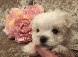 Maltese kc puppies cute small white fluffy puppy stunning little dog