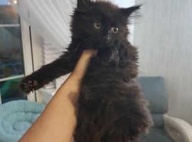 Siberian X Kittens (1 Fluffy Brown/Black  Left)