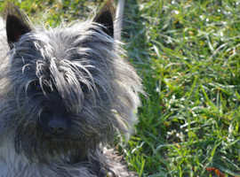 PURE CAIRN TERRIER PUPPIES