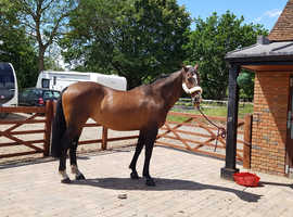 Beautiful hanoverian mare