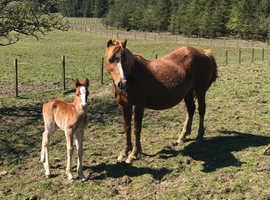 Registered welsh C Mare and foal