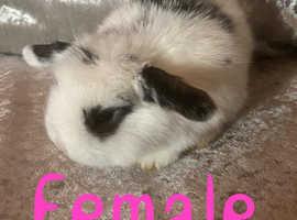 Female mini lop Baby rabbit