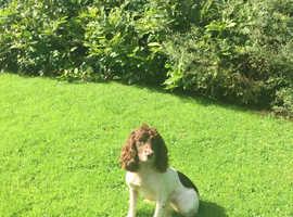 English Springer Spaniel Fully Trained