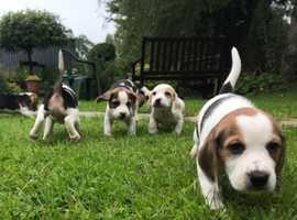 5  gorgeous beagle pups
