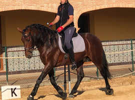 5yr old papered Spanish stallion