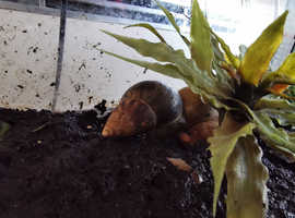 4 Adult Giant African Land Snails with Enclosure