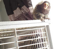 Male marmoset monkey