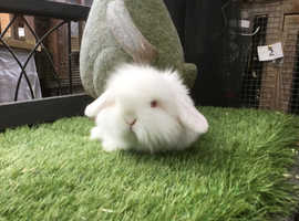White single mane mini lion lop baby rabbit DOE