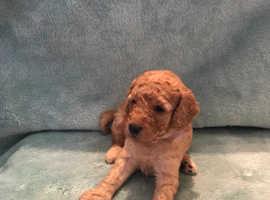 F2 Labradoodle puppy's