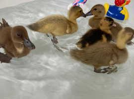 5 ducklings 4 week old