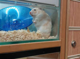Syrian Hamster WANTED