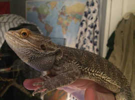 Healthy bearded dragon for new home