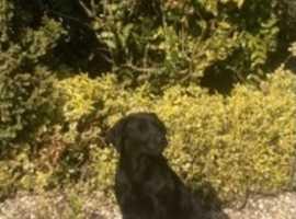 Handsome Kc reg black Labrador Male dog