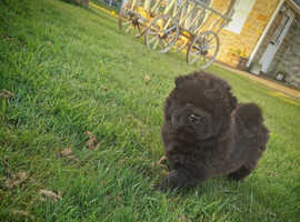 One boy left - chow chow pups for sale