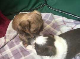Tiny imperial puppies for sale