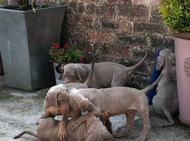 KC Registered Silver Weimaraner puppies