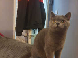 Male British shorthair