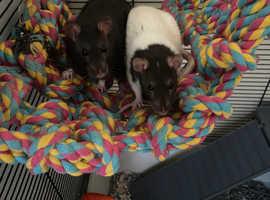 2 female fancy rats