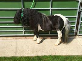 Excellent piebald stallion