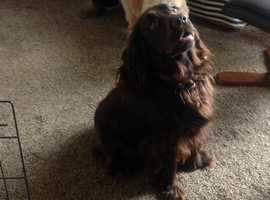 Cockerpoo puppys for sale