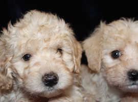 stunning schnoodles 5* licensed breeder