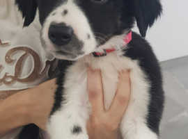 Border Collie Pups Ready to Sunday