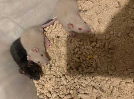 Baby rats boys and girls available