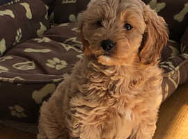 Cavapoochon pups for sale READY NOW