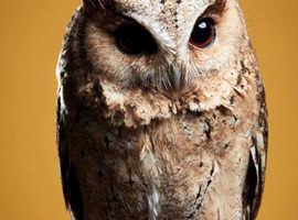 Indian Scops owls