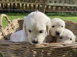 Pedigree Golden Retriever Puppies - Kennel Club Registered & Health Tested - £3400