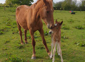 Mare with filly at foot!