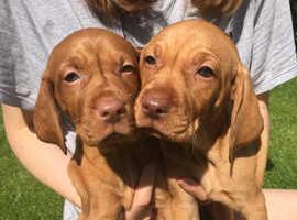 Stunning litter of Hungarian Vizsla puppies
