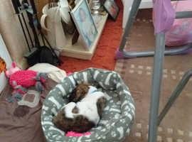 Staffy cross husky pup