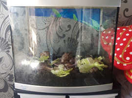 Free to collector. Giant African land Snails