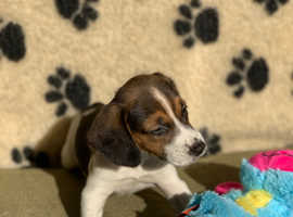 Beagle Puppies Vet Checked & Vaccinated