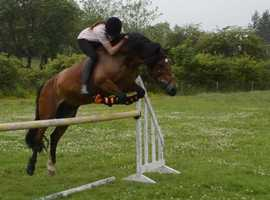 14.3 lovely jumping mare