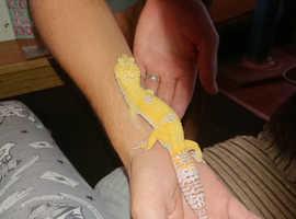 1x Male Giant Leopard Gecko & vivariums for additional cost, see description.