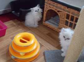 Precious And simple Persian Kittens