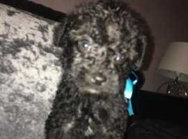 Poodle cross puppies not to be missed