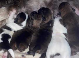 Shih tzu cross jack Russel puppies
