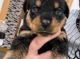 Rottweiler pups  4 pups left.